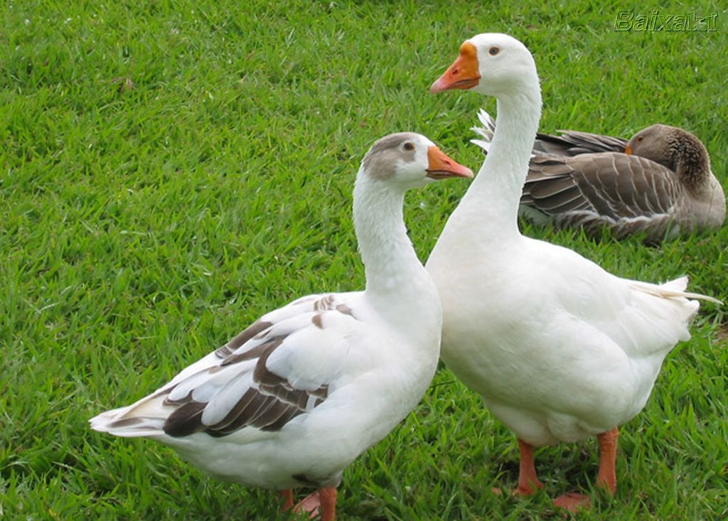The United Kingdom plans to ban imports of foie gras